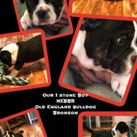 Mr Titan Babies Old England Bulldogs