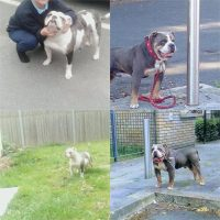 Blue merle Old-english-bulldogs for sale