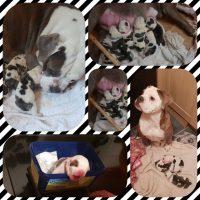 Old tyme English bulldog pups