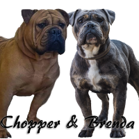 Old tyme  bulldog puppies available