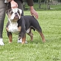 Quality old english bulldog pups available