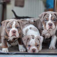 Stunning Olde English Bulldogge Puppies