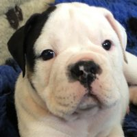 Studs, Puppies & Dogs * Registered with NEBBR only