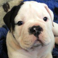 Stunning Olde English Bulldog puppies