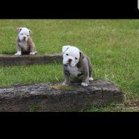 mammut pup blue tri, lilac brindle pups